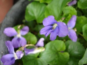 Violet2008web2