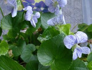 Violet2008web3