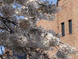 Cherryblossomtokyo20092