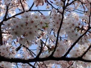 Cherryblossomtokyo20093
