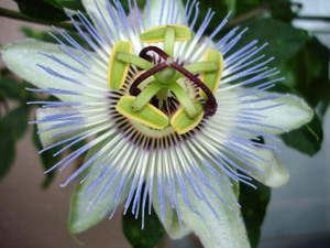 Passionflower2009web3