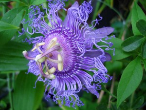 Passionflower2009web4