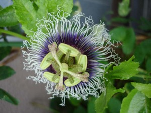 Passionflower2009web5