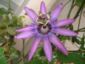 Passionflower2009web12