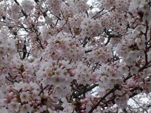 49sakura2010web1
