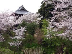 49sakura2010web2