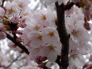49sakura2010web4