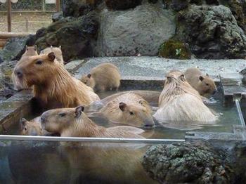 Capybaraweb2