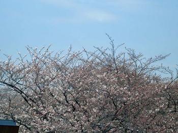 2014cherry_blossom