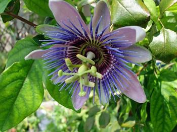 2014passionflowerweb4