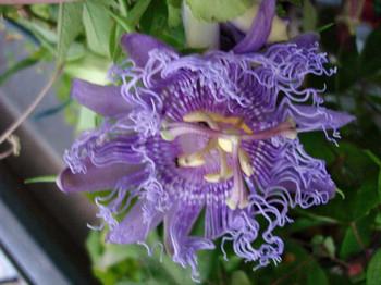 2014octpassion_flowerweb1