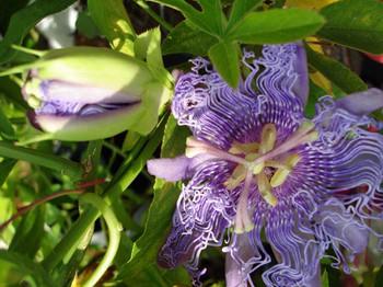 2014octpassion_flowerweb2