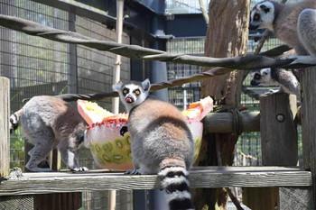 Lemur_catta1