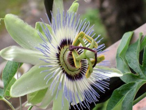 Passionflower5web