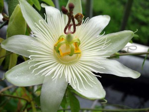 Passionflower7web