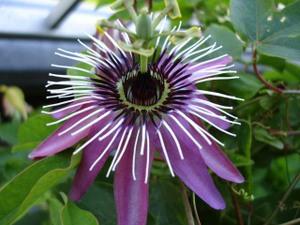 Passionflowerweb2_1